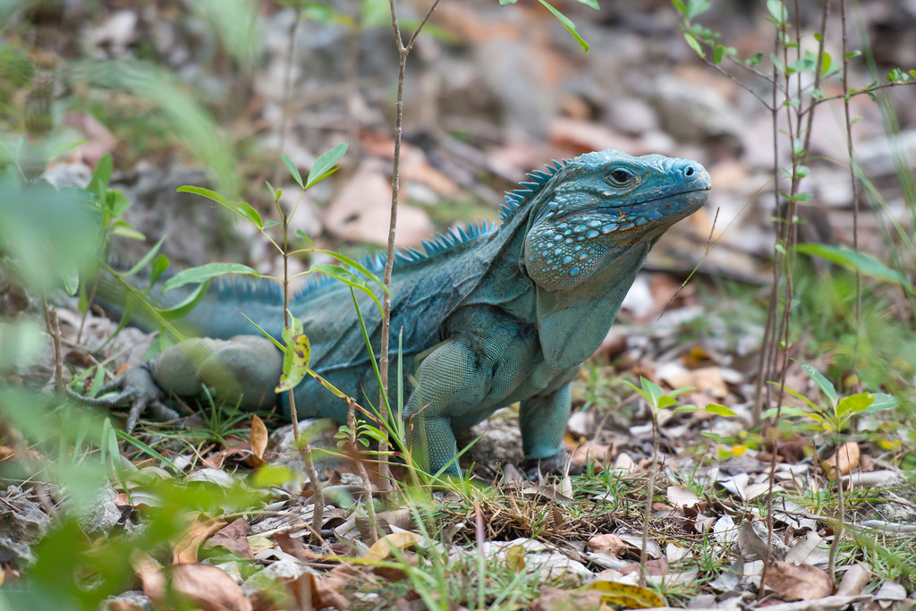 Blue Iguanas Are One Of The Most Iconic And Endangered Reptiles In World Iguana Recovery Programme Started A Captive Breeding