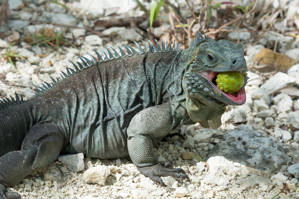 Field Herp Forum View Topic So Many Blue Iguanas